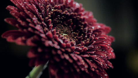 close view wine red chrysanthemum in clear water flow Live Action