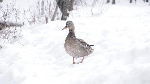 Duck standing on the snow Stock Video Footage