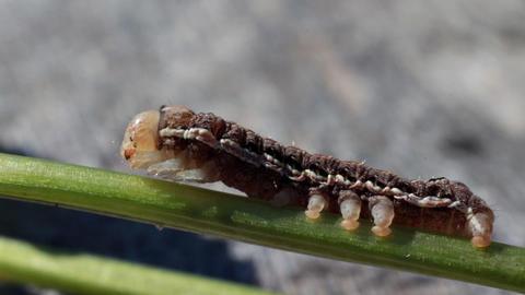 Caterpillar on Plant Stem Footage
