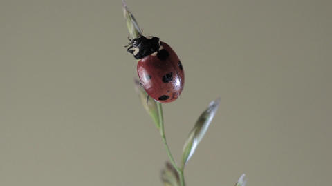 Ladybug Crawling on a Plant Footage