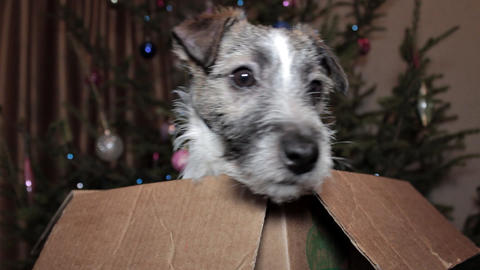 Puppy Jumps out of Cardboard Box Footage