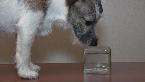 Dog Drinks Water Footage