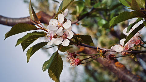 Cherry Flower stock footage
