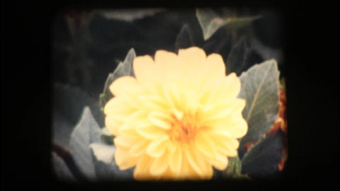Vintage 8mm. Close up of flowers Footage
