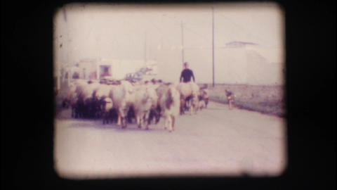 Vintage 8mm. Herd of sheep Stock Video Footage