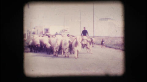 Vintage 8mm. Herd of sheep Footage