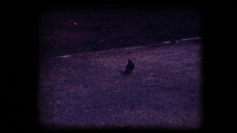 Vintage 8mm. Pigeon flying away Footage