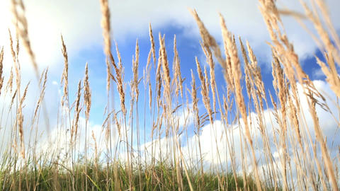 Grass ears and sky with clouds. Low angle with shallow dof Stock Video Footage