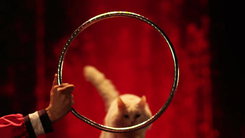 The white cat jumps into the ring in circus. Slow motion... Stock Video Footage