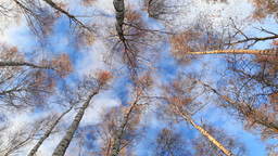 Looking up in a birch trees. Real time. Beautiful nature background with running clouds. Low angle s Footage