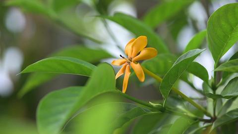 Golden gardenia Footage