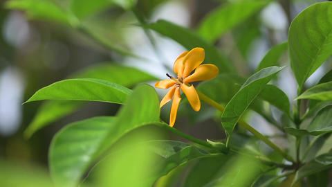 Golden gardenia Stock Video Footage