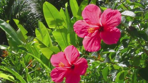 Beautiful hibiscus flower Footage