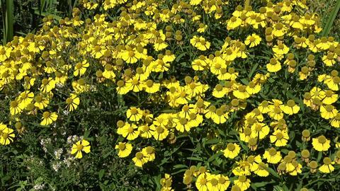 Bright yellow wild flowers Footage