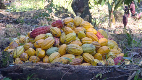 Pile of Cacao Fruits On a Farm - Focus Pull converted Live Action