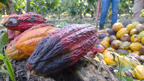 Pile of Cacao Fruits on the Ground - Closeup converted Live Action