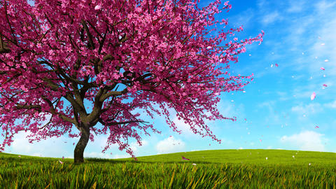 Blooming sakura cherry tree on green grass hills Animation