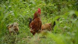 Flock of chickens grazing on the farm - Focus moving Footage