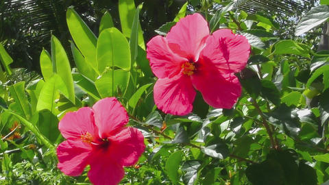 Beautiful hibiscus flower Footage