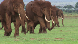 A Big Family Of Elephants Moving To A New Area stock footage