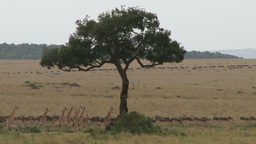 A group of giraffes migrating with wildebeests Footage