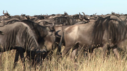 A large group of migrating wildebeests Footage