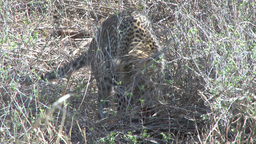 A Leopard Well Comouflaged In Grass Eating stock footage