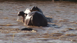 A side view of fighting hippos Footage