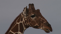 A tickbird grooming a giraffe on the horn Footage