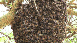 A tilt of a nest of bees on an acacia tree Footage