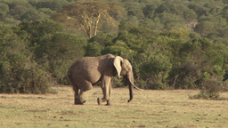 A tracking shot of a deformed elephant limping across the camera Footage