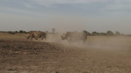 A very angry rhino runs after another in a fight Footage