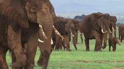 A very large group of elephants moving to another area Footage