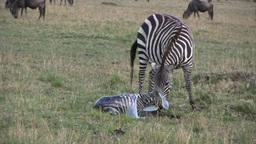 A zebra giving birth Footage