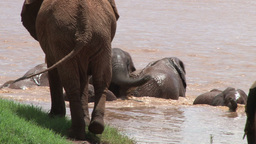 A zoom out of elephants playing in a swollen river Footage