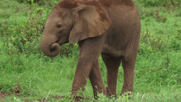 Baby elephant trying to use his trunk Footage