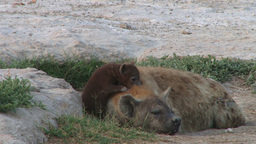 Baby hyena playing with mother Footage