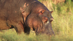Close up of a wounded hippo Footage