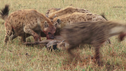 Cries of a wildebeest as it is eaten by hyenas Footage