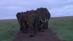 Elephants blocking the road in early morning light Footage