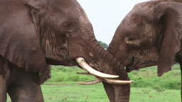 Elephants touching tusks of each other Footage