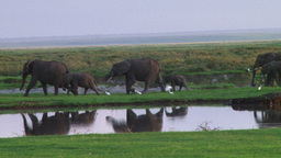 Elephants walking along a pond with their reflections in the water Footage