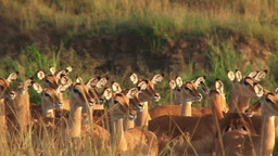 Frightened impalas Footage