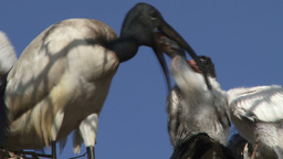Ibis feeds babies from her throat Footage