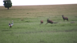 Jackals hunting down a young topi scares away crown cranes Footage