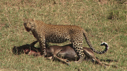 Leopard panting as she draggs a big kill Footage
