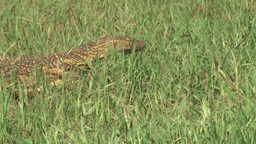 Monitor lizard walking through the grass Footage