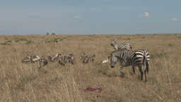 Mother Zebra is helped by another to keep away vultures from her dead baby Footage