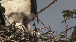 Sacred ibis feeding her young Footage