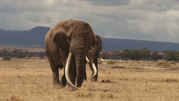 The largest elephant in the wild walking towards camera Footage